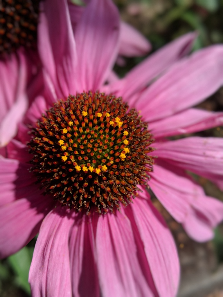 Echinacea cone flower pollen ring pink flower