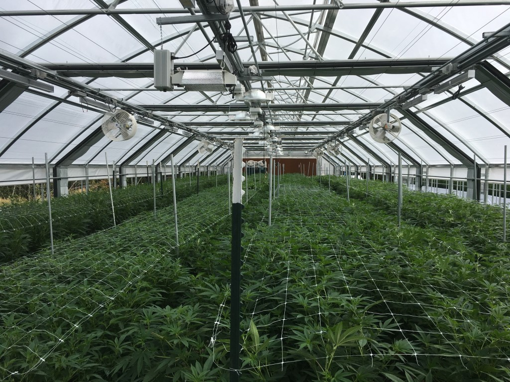 Legal cannabis conley greenhouse trellis net even canopy