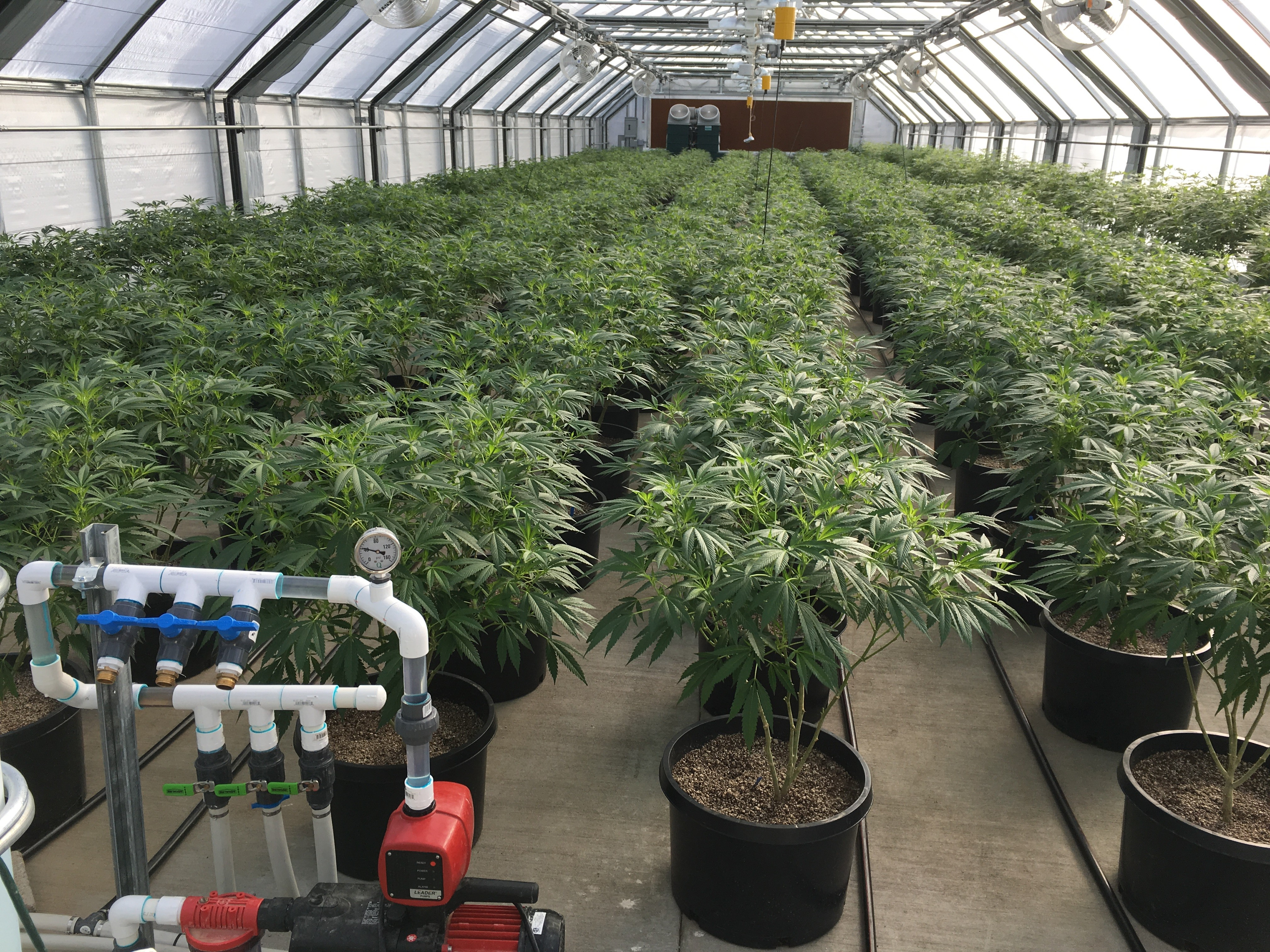 Legal cannabis greenhouse potted plants