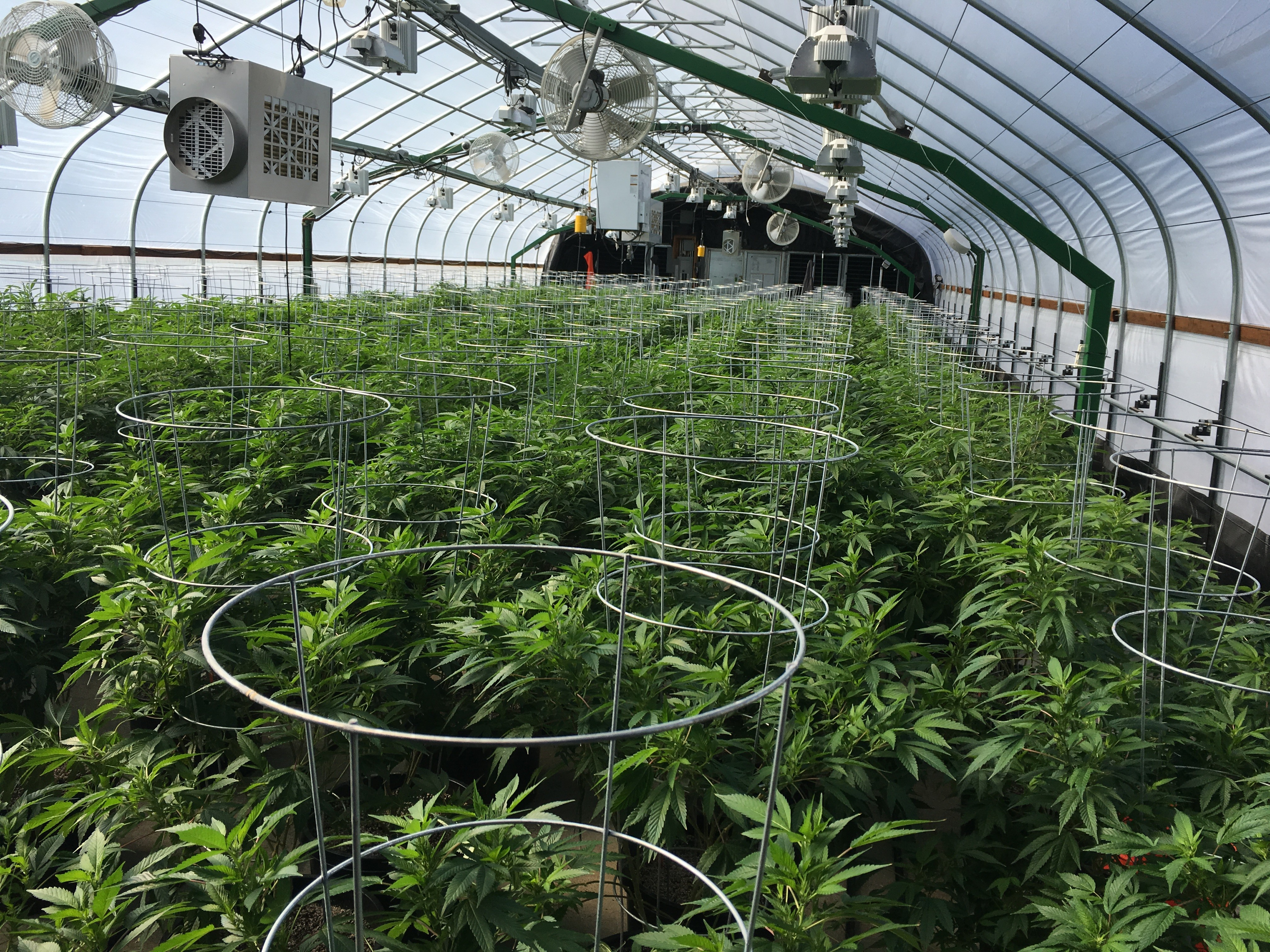legal cannabis greenhouse tomato cages
